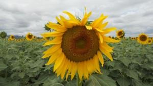 A beautiful sunflower.