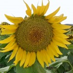 A sunflower soaking up the Lockyer Valley sun