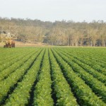 Cropping at Glen Cairn - the last beetroot crop