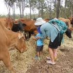 Farm tour feeding the cattle