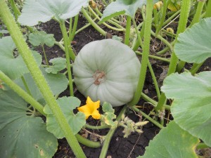 Fresh pumpking straight from the vine on a farm tour at Stockton Rise Country Retreat.